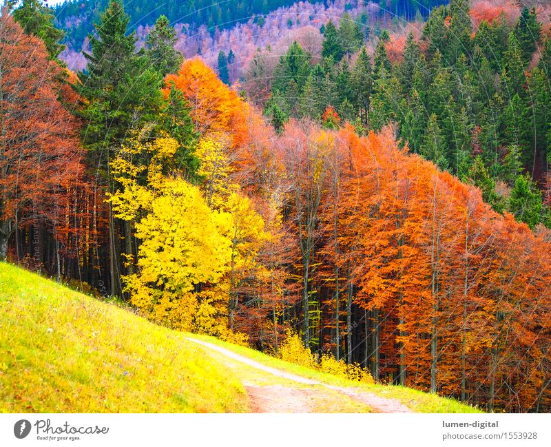 Leaf colouring in autumn Nature Autumn Tree Yellow Red Colour Black Forest Maple tree Indian Summer Autumn leaves Colour photo Multicoloured Day