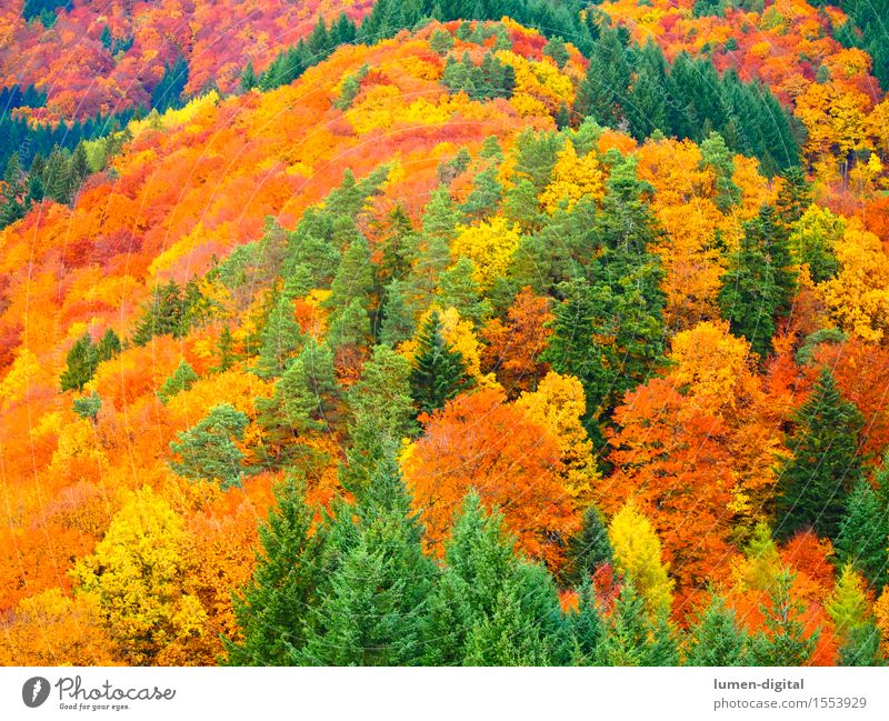 Leaf colouring in autumn Autumn Tree Natural Yellow Red Colour Vacation & Travel Black Forest Indian Summer Autumn leaves Maple tree Multicoloured Day