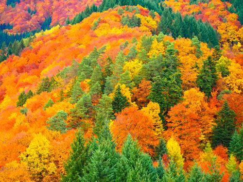 Vacation & Travel Colour Tree Red Leaf Forest Yellow Autumn Natural Autumn leaves Maple tree Black Forest Indian Summer