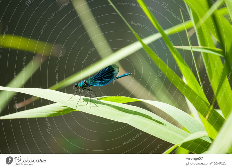 landing site Nature Animal Summer Plant Foliage plant Wild plant Common Reed River bank Wild animal Insect Dragonfly 1 Blue Brown Green Leaf Landing Strip