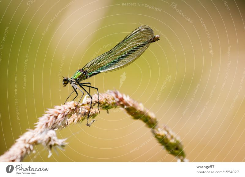 biocopter Nature Animal Summer Wild animal Dragonfly 1 Wait Elegant Thin Brown Gold Green Insect Resting point Restful Common Reed Delicate Beautiful