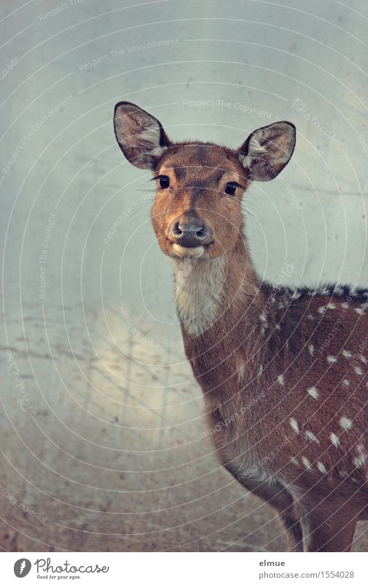 fawn eyes Spotted deer Axishirsch cow Hind Bambi Observe Communicate Looking Stand Elegant Beautiful Natural Curiosity Brown Trust Safety (feeling of) Sympathy