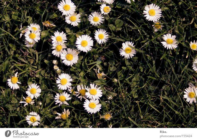 Nature Beautiful Flower Green Plant Summer Joy Meadow Grass Spring Environment Lawn Daisy Summery