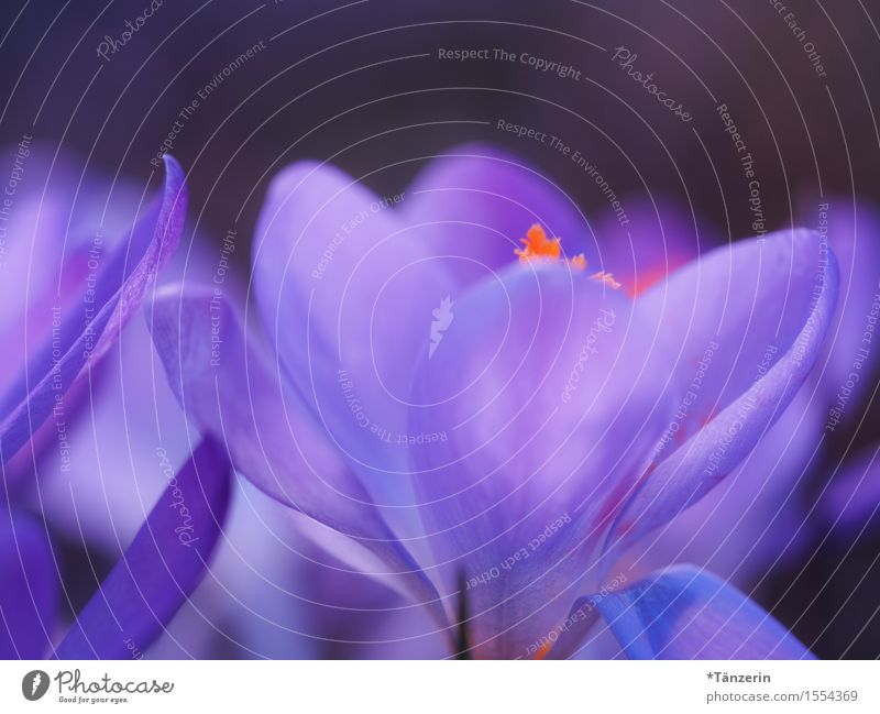 spring! Nature Plant Spring Beautiful weather Flower Crocus Esthetic Natural Blue Violet Orange Colour photo Multicoloured Exterior shot