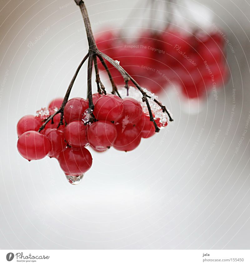 Red Berries Winter Snow Ice Nature Fruit Rawanberry Twig Cold Park