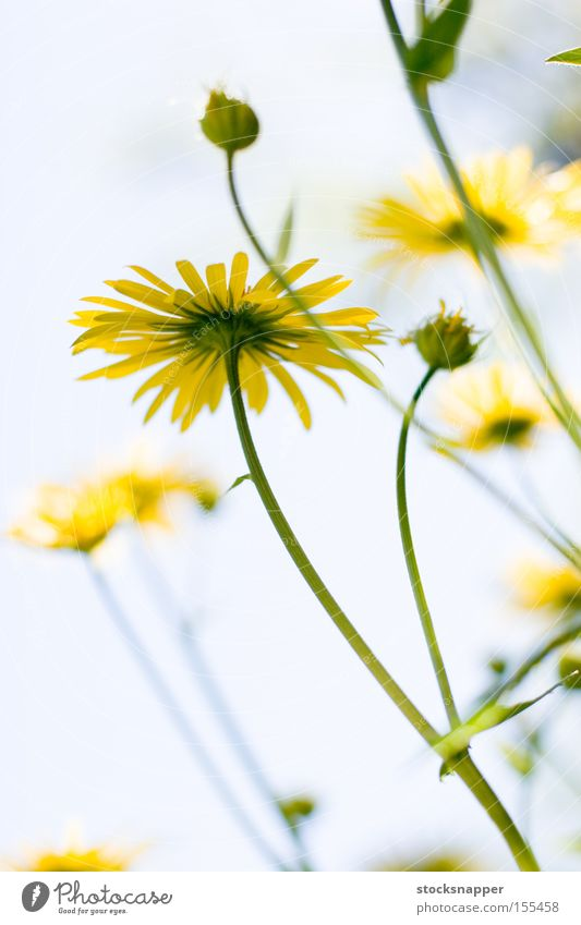 Flowers flora Sky Yellow Under leopards bane flowers summer flowering Nature