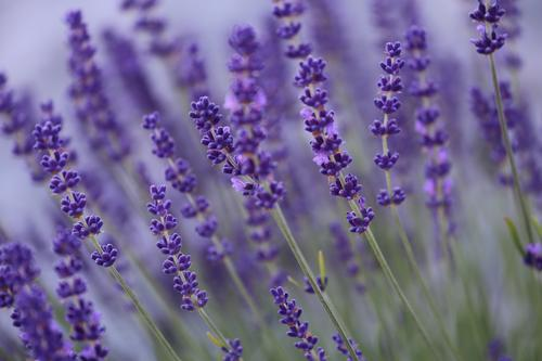 lavender Herbs and spices Lifestyle Beautiful Personal hygiene Cosmetics Alternative medicine Wellness Meditation Fragrance Tourism Summer Hiking Agriculture