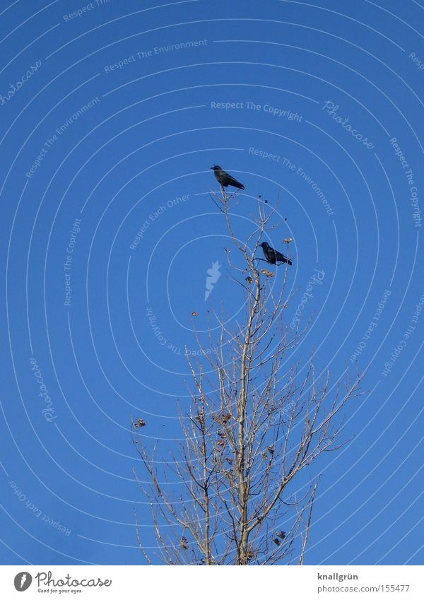 Sky Tree Blue Winter Animal 2 Bird Sit Direction Raven birds Crow