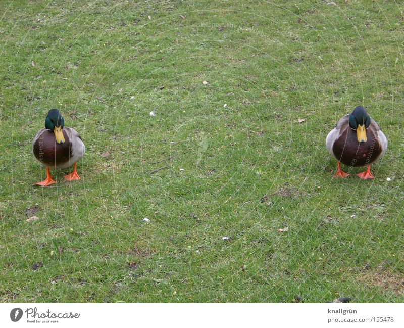 twins Duck Mallard Meadow Green Waddle 2 Lawn Grass Animal Bird Poultry