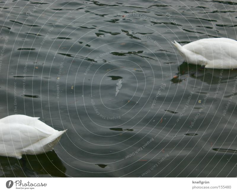 Blue Water White Animal Bird 2 Swimming & Bathing Transience Float in the water Swan Headless Poultry