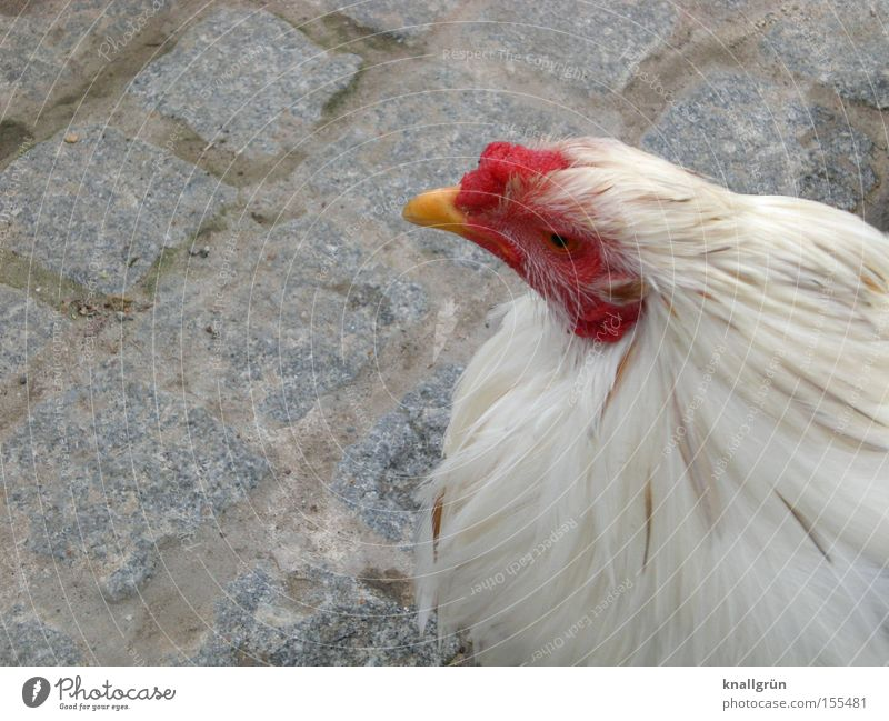 White Red Animal Bird Sit Feather Cobblestones Paving stone Barn fowl Poultry