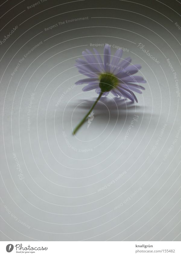 Beautiful Plant Flower Gray Transience Violet Stalk Daisy