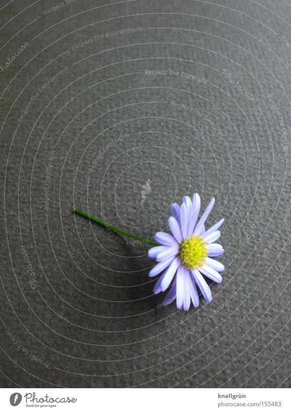 Beautiful Flower Daisy Plant Gray Stalk Nature Transience Purple Daisy