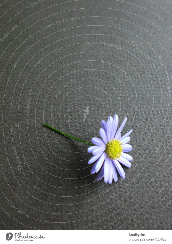 Nature Beautiful Plant Flower Gray Transience Stalk Daisy