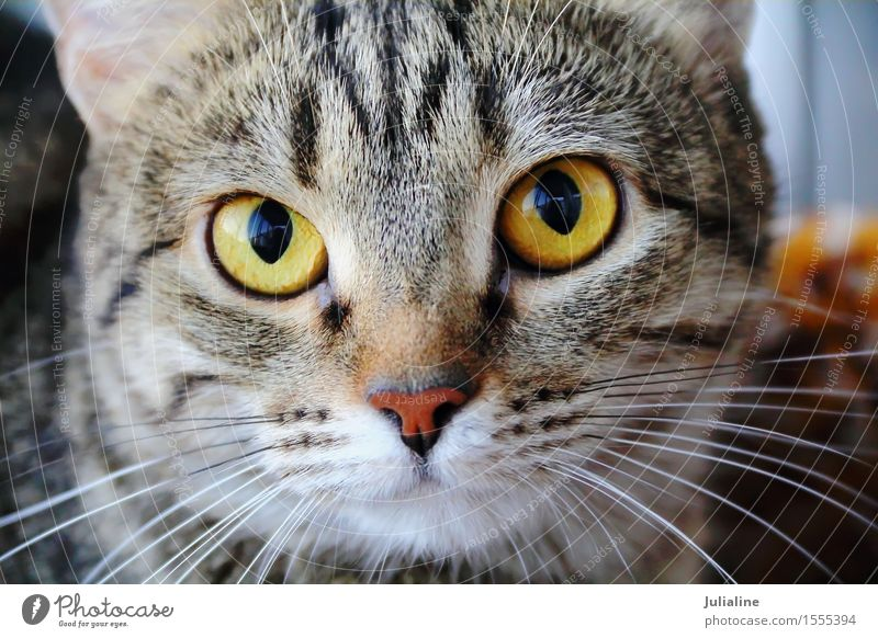 Cat portrait with yellow eyes Face Animal Moustache Pet 1 Stripe Near Yellow Mammal whiskers sideburns close Colour photo