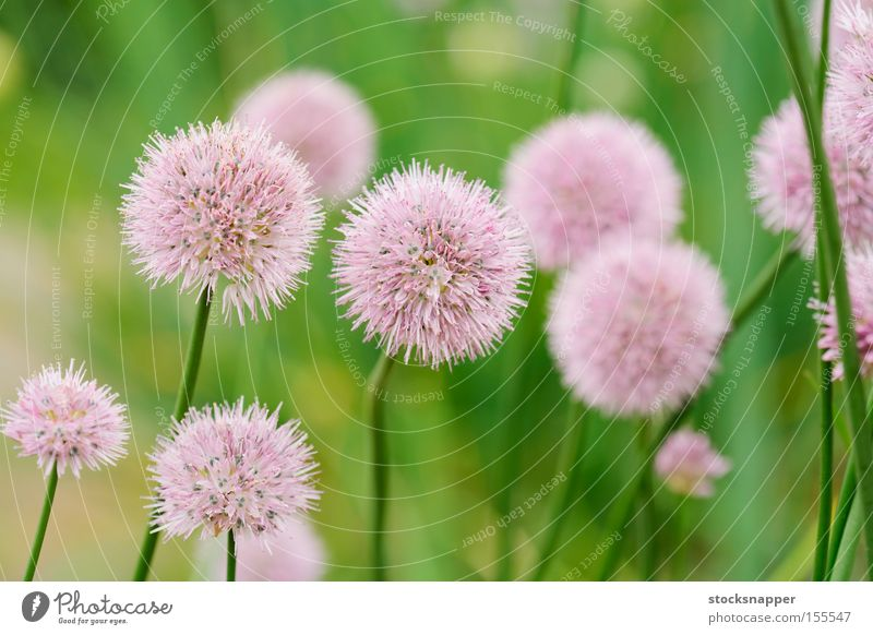 Chives Vegetable Club moss Blossoming chive Flower Food Herbs and spices herbaceous Onion perennal Plant schoenoprasum