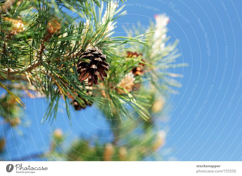 Pine cones Tree Detail Nature Evergreen European Finland Finnish pinus Cone Branch