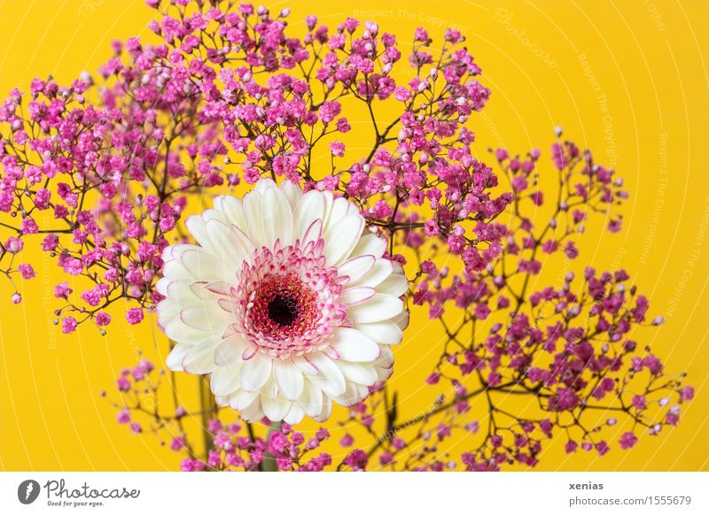 white gerbera with pink gypsophila against a yellow background Gerbera Baby's-breath Bouquet Valentine's Day Mother's Day Birthday Spring Summer Flower Blossom