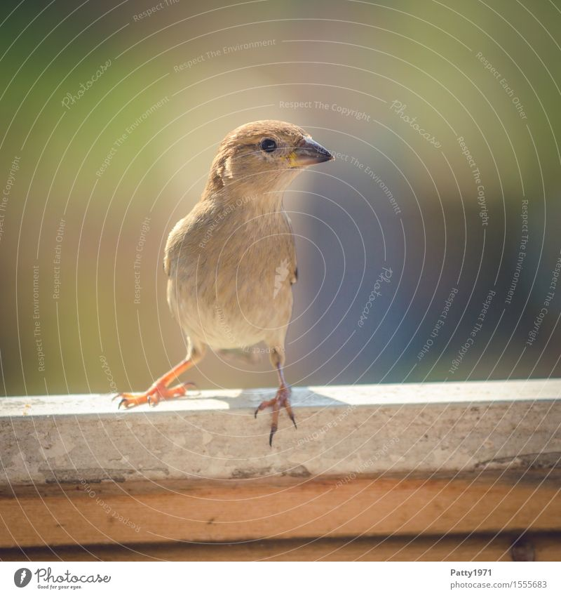 sparrow Wild animal Bird Passerine bird Sparrow 1 Animal Looking Natural Curiosity Feminine Brown Interest Nature Colour photo Exterior shot Deserted