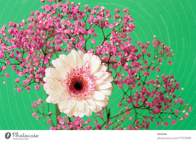 white gerbera with pink gypsophila against a green background Gerbera Spring Baby's-breath Summer Flower Blossom Green Pink White Decoration Bouquet rose veil