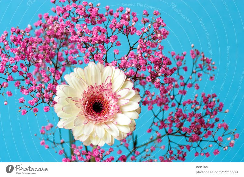 White gerbera with pink gypsophila against a light blue background Gerbera Baby's-breath Bouquet Birthday Spring Summer Flower Rose Blossom Blue Pink Light blue