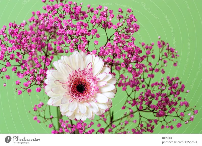 white-pink gerbera with rose veil in front of light green background Gerbera flowers bleed Baby's-breath Pink White Bouquet Decoration Studio shot xenias