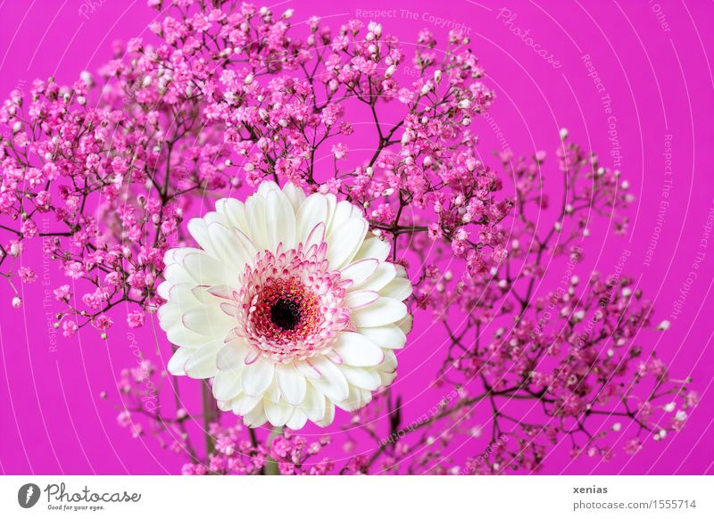 white gerbera with pink gypsophila against a pink background Gerbera Baby's-breath gypsum herb Bouquet Mother's Day Birthday Plant Spring Summer Flower Bushes