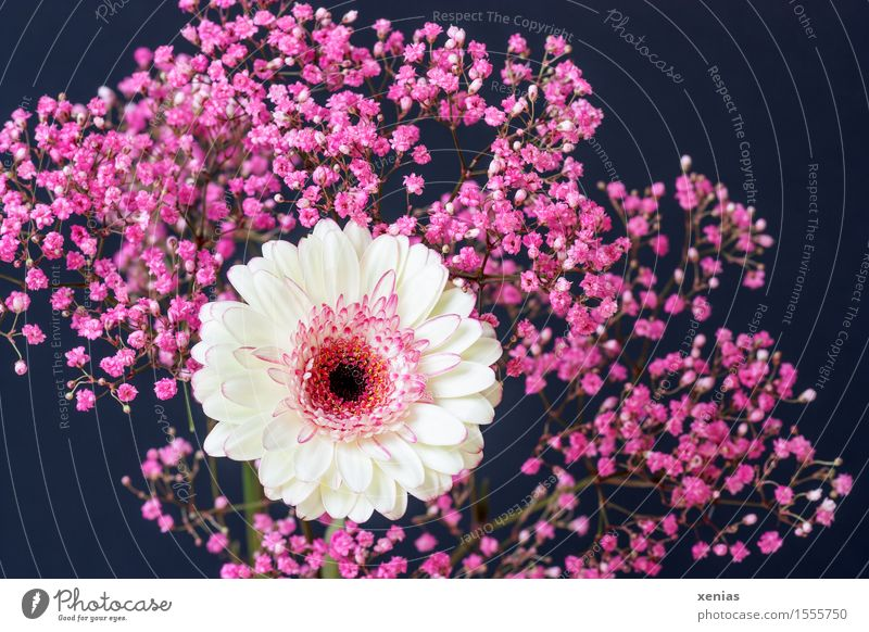 white gerbera with pink gypsophila against a black background Gerbera Baby's-breath Plant Spring Summer Flower Bushes Blossom Dark Pink Black White Grief