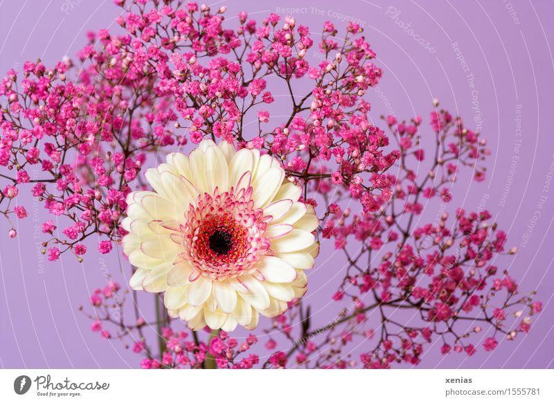 Plant White Flower Blossom Pink Violet Gerbera Baby's-breath