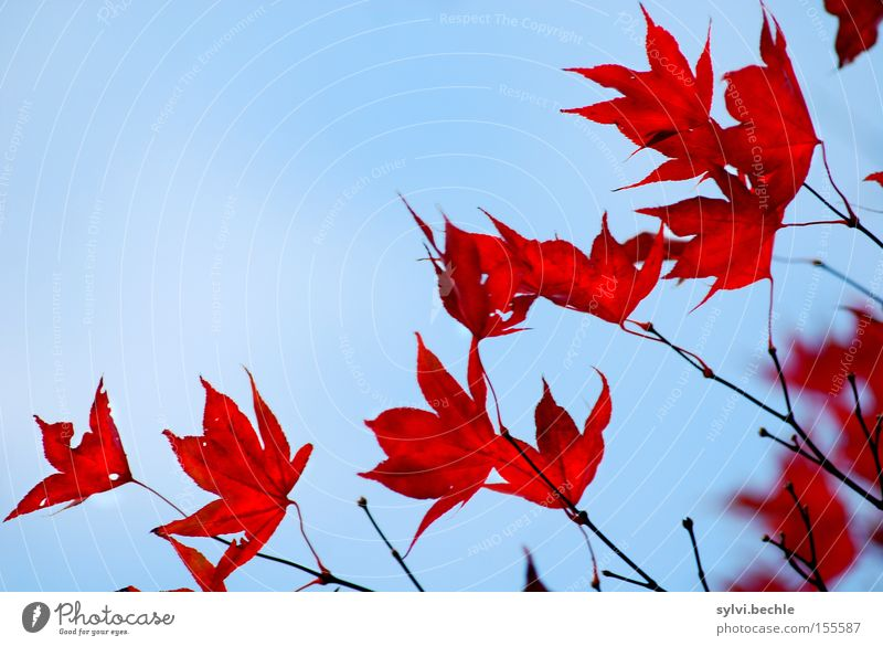 Nature Beautiful Old Sky Tree Blue Plant Red Leaf Autumn Freedom Transience Branch Delicate Seasons Blue sky