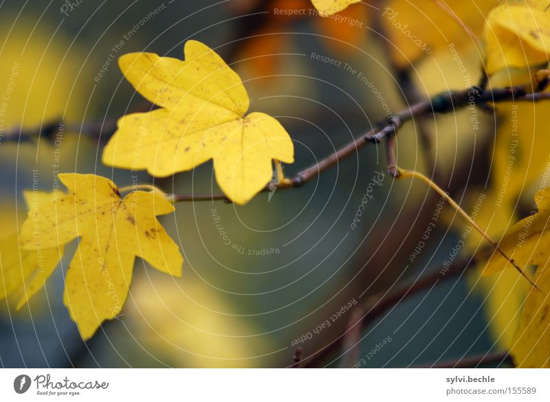 Nature Beautiful Tree Plant Leaf Yellow Autumn Brown 2 Growth Change Transience Branch Delicate To hold on Seasons
