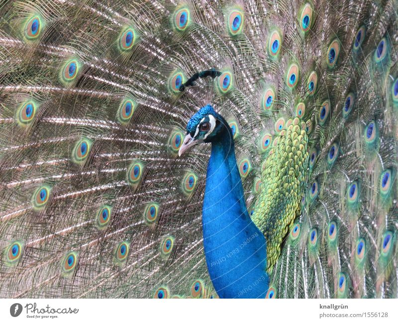 poser Animal Peacock 1 Rutting season Beautiful Blue Green Peacock feather Bird Colour photo Exterior shot Deserted