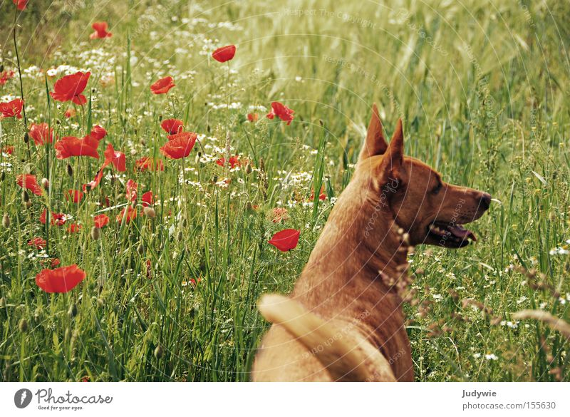 Summer dog. Dog Relaxation Green Orange Poppy Grass Vacation & Travel Joy Emotions Animal Flower Freedom Mammal Podenco