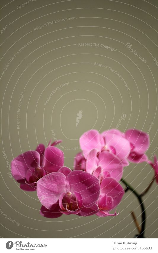 Flower Plant Emotions Gray Pink Orchid
