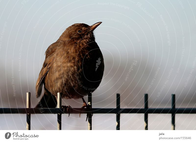 Nature Winter Animal Garden Bird Fence Blackbird Songbirds Dark brown Throstle Wild bird