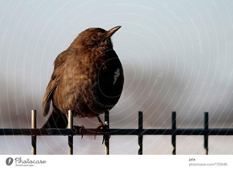 Nature Winter Animal Garden Bird Fence Blackbird Songbirds Dark brown Throstle Wild bird