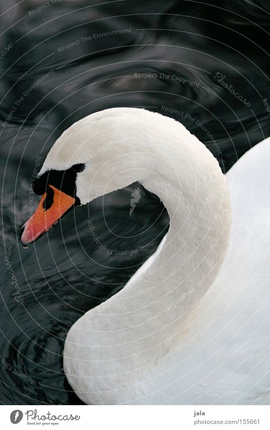 Water Beautiful White Animal Head Bird Elegant Esthetic Feather Neck Beak Pride Swan
