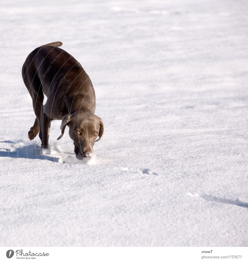 search dog Winter Snow Beautiful weather Animal Dog Movement Walking Running Elegant Leisure and hobbies Search Odor Weimaraner Snow layer Mammal Nose Hound