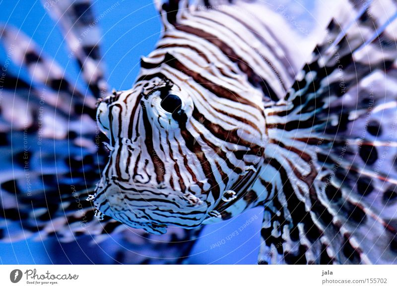 Water Ocean Blue Fish Underwater photo Aquarium Poison Animal Sea water Devil firefish Radial Firefish