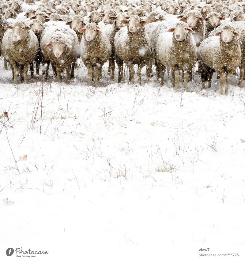 Nature Winter Cold Snow Snowfall Moody Perspective Group of animals Observe Discover Stupid Pasture Boredom Emotions Sheep Mammal