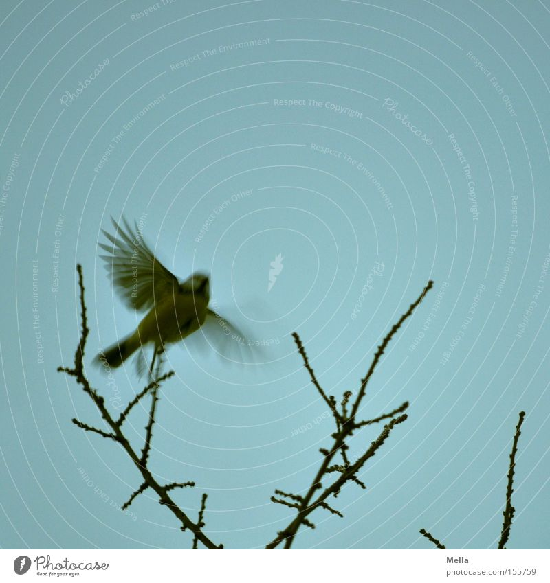 Tit winter departure Environment Nature Plant Twigs and branches Animal Bird Wing Tit mouse 1 Flying Free Small Natural Blue Departure Disperse Branchage
