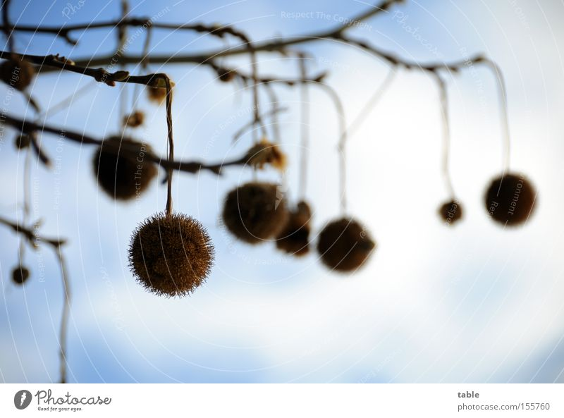 ball tree balls Deciduous tree Seed Branch Twig Hang Sky Clouds Winter Blue White American Sycamore maple-leaved plane tree platanaceae park tree road tree