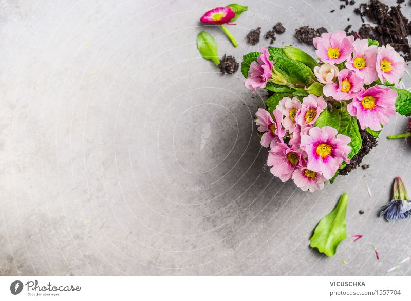 Beautiful primrose flowers for the garden Style Design Summer Garden Decoration Table Nature Plant Spring Flower Leaf Blossom Blossoming Pink Background picture