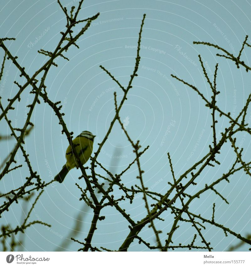 Nature Tree Blue Plant Animal Bird Small Environment Sit Natural Treetop Branchage Crouch Twigs and branches Tit mouse