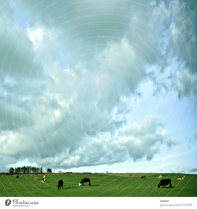 slow living Colour photo Exterior shot Copy Space top Day Sky Clouds Grass Meadow Cow To feed Dairy cow Ecological Country life Pasture Ireland Mammal Americas
