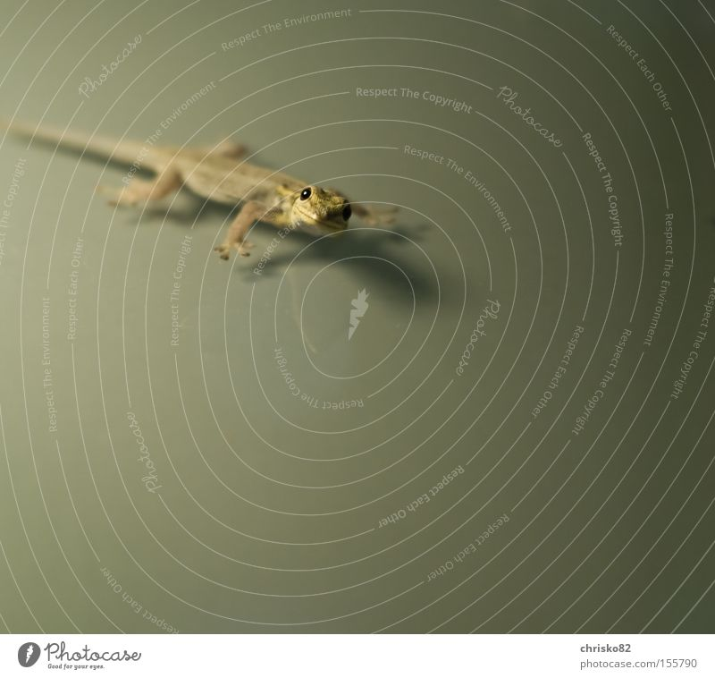 Green Laughter Peace Asia Climbing Curiosity Friendliness Crawl Reptiles Wood grain Peaceful Saurians Scales Gecko Lizards