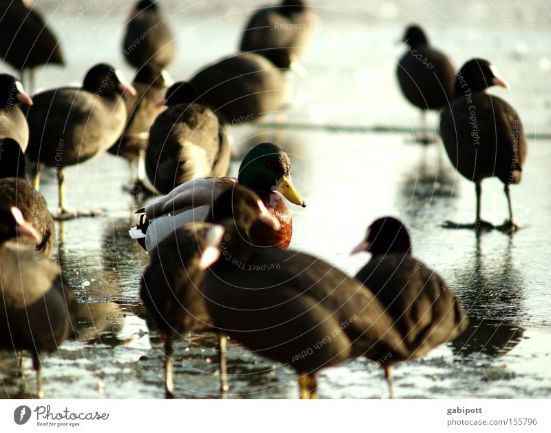 the foreign is foreign only in the foreign Colour photo Exterior shot Sunlight Shallow depth of field Nature Animal Winter Ice Frost Lake Bird Duck Drake Coot