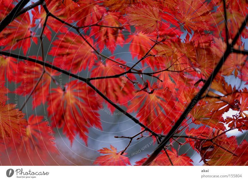 rouge Leaf Multicoloured Branch Maple tree Agriculture Autumn Colour