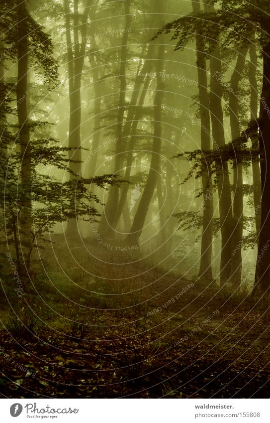 Tree Green Calm Leaf Forest Relaxation Wood Fog Romance Virgin forest Painting and drawing (object) Mystic Fairy tale Magic