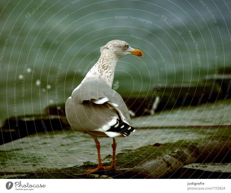 seagull Seagull Silvery gull Baltic Sea Ocean Coast Water Break water Inject Colour Beach Bird
